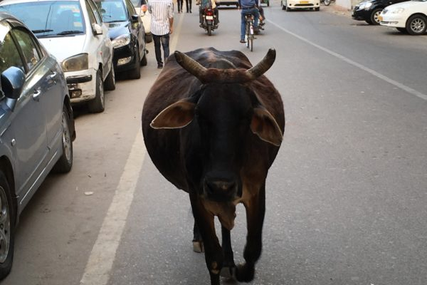 Sacred cow, Varanasi, India